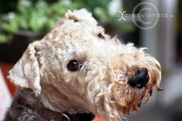 our Dog - Lakeland Terrier by Expressionata