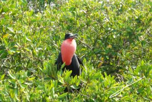 Magnificent Frigatebird by SilverMoon-Archer
