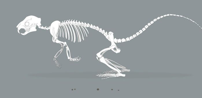 Squirrel Skeleton Run Cycle by LimitlessEndeavours