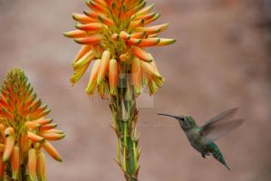 Hummingbird by oddjester