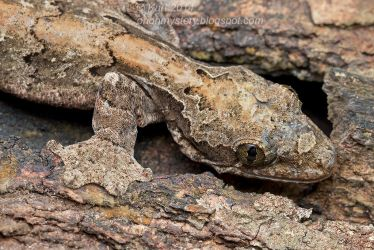 A Kuhl Gecko ( MG 4655 copy) by orionmystery