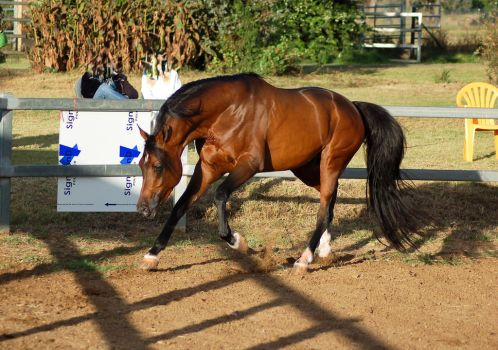 JA Arab Rounded canter head lowered by Chunga-Stock