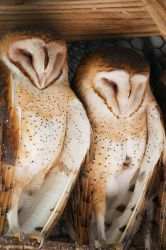 Barn Owls by secondclaw