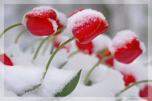 Tulips of Winter by isaacster39