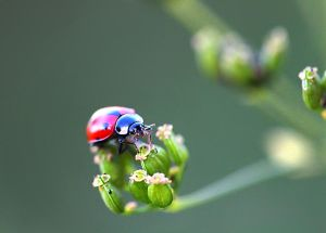 Lady Beetle by IreneHorvath