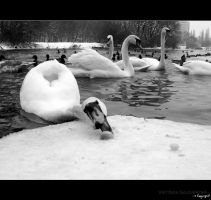 swans day by WiKkASs