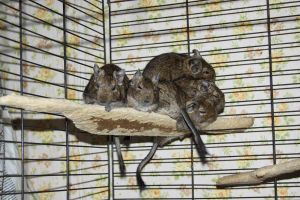 Degu Stock 7 of 10 ~ Females by Lovely-DreamCatcher