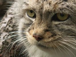Pallas Cat by OriginalSpaceCowgirl