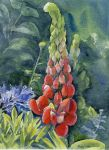 Lupins, watercolour by MaddySwan
