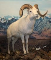 Denver Museum Big Horn Sheep 254 by Falln-Stock