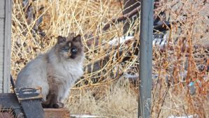 2018 January 09 1143.  Blue-Eyed Cat by AAAHartvisen