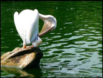 Pelican by mcrufus