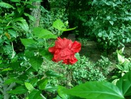 Red Hibiscus in the garden by attilasebo