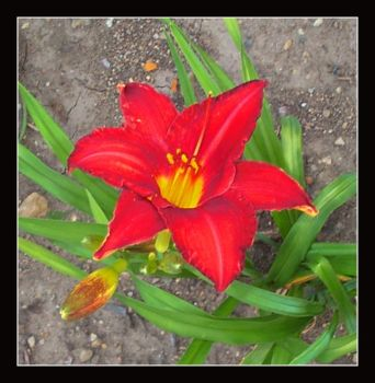 Red Lily by Mennonot