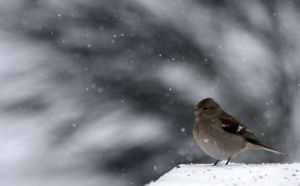 Chaffinch by NCC-Photography