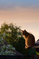 cat, roof and sunset by edinaB