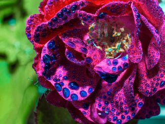 Blue drops on Rose by Mackingster