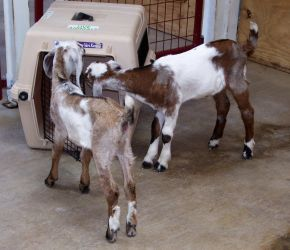 baby goats 3 by turtledove-stock