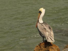 Pelican Perch by thelilartist
