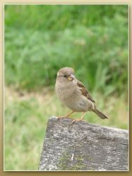 A little hungry Sparrow by g33kgirl1980
