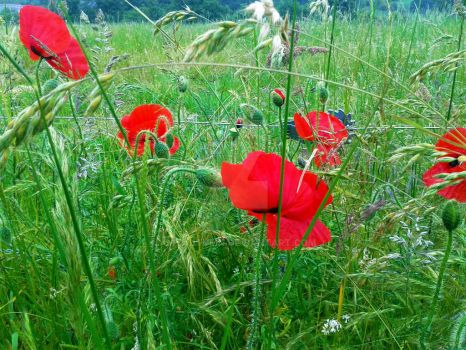 poppies by AmyAutumn