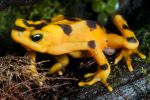 Golden Toad by ribbonworm