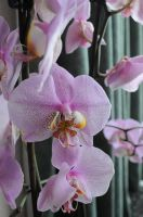 orchid 4 by density-stock