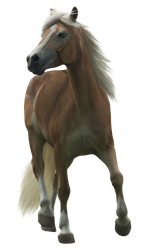 Haflinger TR stock 1 by Bundy-Stock