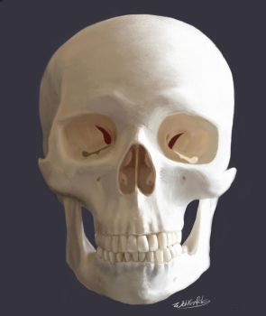 Skull Frontal Study by Wolkenfels