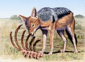 Black Backed Jackal by WillemSvdMerwe