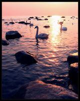 Swans by DSent