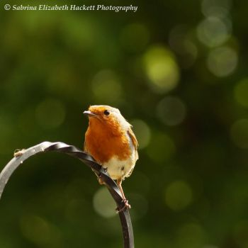 Robin and Bokeh by Hitomii