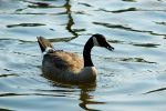 RP Geese I by LDFranklin