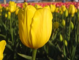 Yellow tulips by MightystarEL