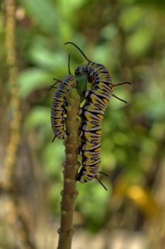 caterpillars eating the last leaf of the milk weed by sapoguapo