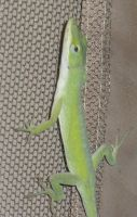 Anole 0583 by Aazari-Resources