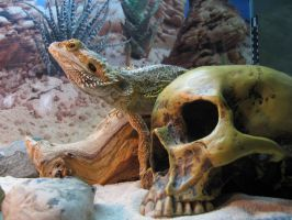 Bearded  dragon by lizardlars