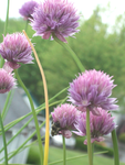 Bee on my Chives 03 by ZhoraTheWolverbabe