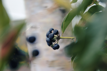 The Blue Berries by byNici