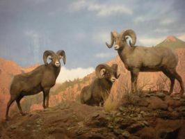 Rocky Mountain Big Horn Rams by DrachenVarg-stock