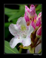 Pink and White Rhododendron by David-A-Wagner