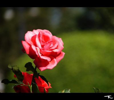 Rosa by tcDes