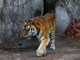 Tiger in Beijing by rainman65