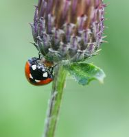 thistle love... by clochartist-photo