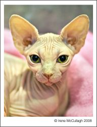 Pink SPHYNX by substar