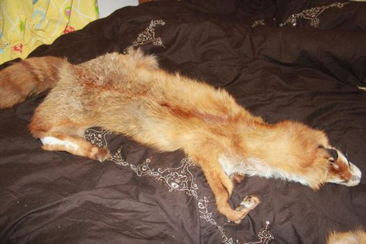FOR SALE: Large Red Fox Pelt by romancer