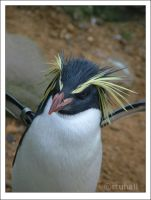 Penguin by stuhall