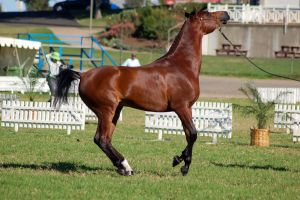 TW Arab Bay Canter side view head nose up by Chunga-Stock