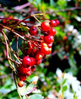 Red Berries by philippeL