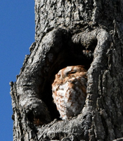 Eastern Screech Owl 003 by Elluka-brendmer